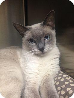 Siamese Cat for adoption in Newport Beach, California - Meerkat