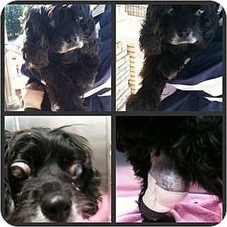 Cocker Spaniel Dog for adoption in Flushing, New York - GLEE-R.I.P. 6/08/11