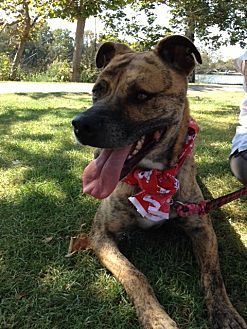Pit Bull Terrier/Boxer Mix Dog for adoption in Midway City, California - Archie
