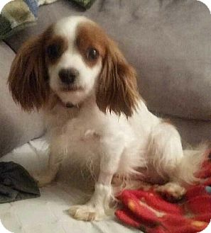 Cavalier King Charles Spaniel Dog for adoption in Fairview Heights, Illinois - Aurora