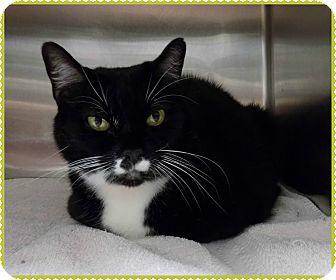 Domestic Shorthair Cat for adoption in Marietta, Georgia - HALEY KITTY (R)
