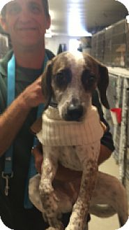 Beagle/Australian Cattle Dog Mix Puppy for adoption in Monroe, Michigan - Daisy
