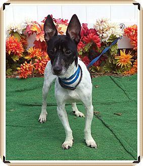 Rat Terrier Dog for adoption in Marietta, Georgia - PETEE (R)