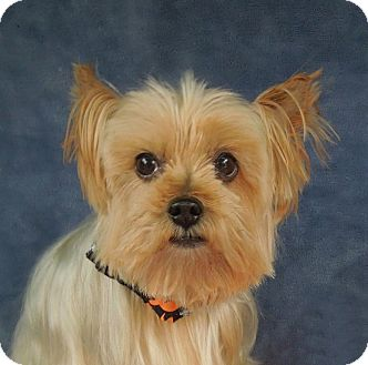 Yorkie, Yorkshire Terrier Dog for adoption in Charlotte, North Carolina - Alfie