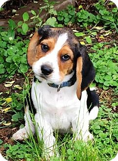Beagle/Airedale Terrier Mix Puppy for adoption in Fairfax, Virginia - Dustin