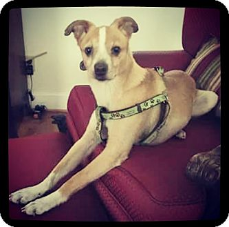 Whippet/Terrier (Unknown Type, Small) Mix Dog for adoption in Grand Bay, Alabama - Huey