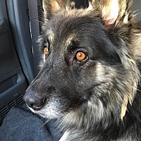 German Shepherd Dog Mix Dog for adoption in Kouts, Indiana - Dick