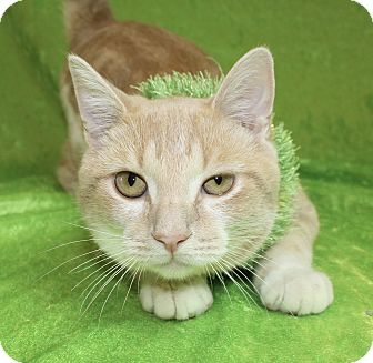 Domestic Shorthair Cat for adoption in Jackson, Michigan - Ollie