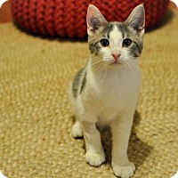 Domestic Shorthair Cat for adoption in Los Angeles, California - Coty