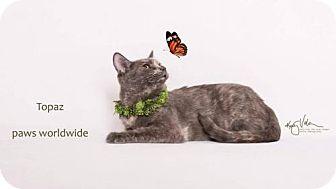 Domestic Shorthair Cat for adoption in Corona, California - TOPAZ