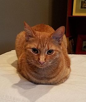 Domestic Shorthair Cat for adoption in Asheville, North Carolina - Leia