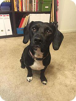 Labrador Retriever/Basset Hound Mix Dog for adoption in Brookeville, Maryland - Bugsy