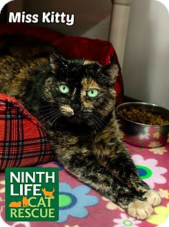 Domestic Shorthair Cat for adoption in Oakville, Ontario - Miss Kitty