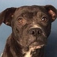 Pit Bull Terrier Mix Dog for adoption in Springdale, Arkansas - Violet
