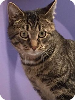 Domestic Shorthair Kitten for adoption in Trevose, Pennsylvania - Griffin