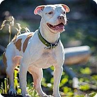Bulldog/American Staffordshire Terrier Mix Dog for adoption in Las Vegas, Nevada - Groot