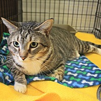 Domestic Shorthair Cat for adoption in Canyon Country, California - Ace