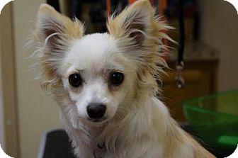 Chihuahua Dog for adoption in Gridley, California - Precious