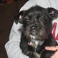 Shih Tzu Mix Dog for adoption in Salem, New Hampshire - Kami