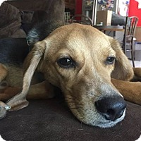 Beagle Mix Dog for adoption in Dallas, Texas - BUCKLEY