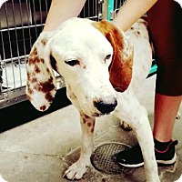 Hound (Unknown Type) Mix Dog for adoption in North Myrtle Beach, South Carolina - Scout