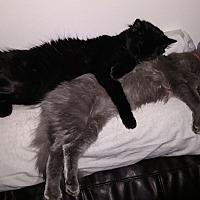 Calico Cat for adoption in Lisle, Illinois - Raku/nyoko