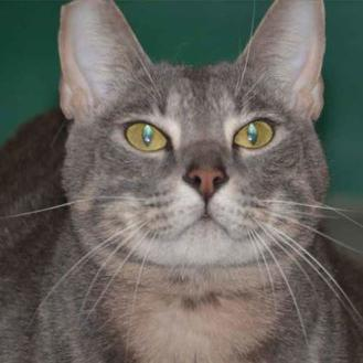 Domestic Shorthair/Domestic Shorthair Mix Cat for adoption in Metairie, Louisiana - NOLA