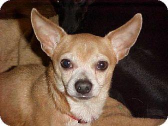 Chihuahua Dog for adoption in Anderson, South Carolina - Dezi