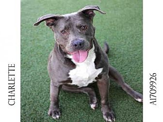 Pit Bull Terrier Dog for adoption in Los Angeles, California - CHARLETTE