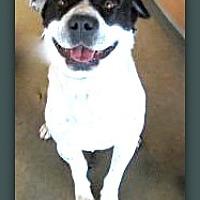 Adopt A Pet :: Oreo Cookie 29014 - Pampa, TX