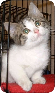 Domestic Shorthair Kitten for adoption in Honesdale, Pennsylvania - Shelby