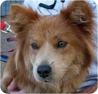 Corgi Mix Dog for adoption in Spring Valley, California - Foxy