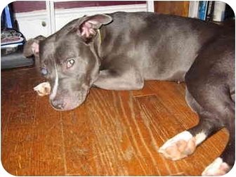 American Pit Bull Terrier Mix Dog for adoption in Reisterstown, Maryland - Pinkie