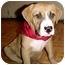Photo 1 - American Bulldog Mix Puppy for adoption in Riverview, Florida - Jax
