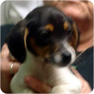Beagle/Jack Russell Terrier Mix Puppy for adoption in Manassas, Virginia - Butthead
