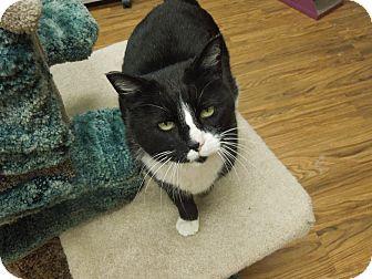 Domestic Shorthair Cat for adoption in Medina, Ohio - Dewey