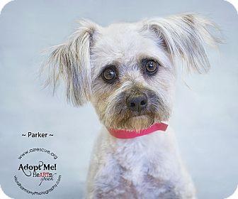 Maltese Mix Dog for adoption in Phoenix, Arizona - Parker