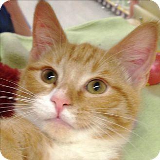 Domestic Shorthair Kitten for adoption in Weatherford, Texas - Thomas