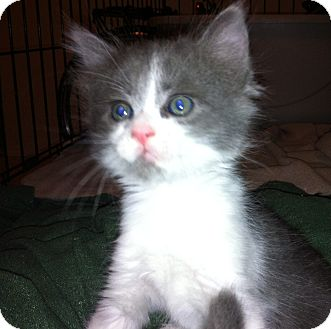 Russian Blue Kitten for adoption in Tracy, California - Angelica-ADOPTED!