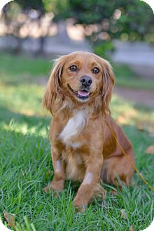 Cavalier King Charles Spaniel/Cocker Spaniel Mix Dog for adoption in El Cajon, California - MAX