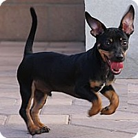 Adopt A Pet :: Jack - Torrance, CA