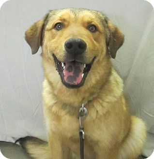 Shepherd (Unknown Type)/Chow Chow Mix Dog for adoption in Lloydminster, Alberta - Kade