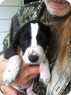 Beagle/Border Collie Mix Puppy for adoption in Ashville, Ohio - Hansel and gretal