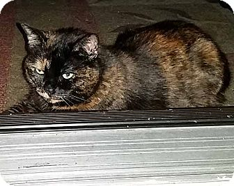 Domestic Shorthair Cat for adoption in Brooklyn, New York - Essie - ADOPTED