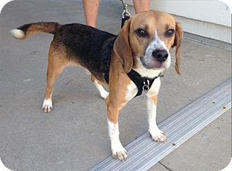 Beagle Mix Dog for adoption in Freeport, New York - Spike