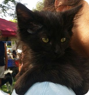 Domestic Mediumhair Kitten for adoption in Palatine, Illinois - Fozzie