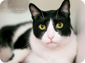 Domestic Shorthair Cat for adoption in Reisterstown, Maryland - Will