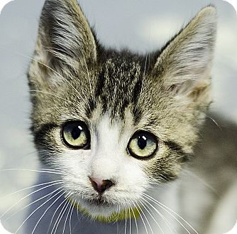 Domestic Shorthair Kitten for adoption in Adrian, Michigan - Hummer
