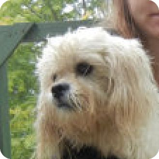 Bichon Frise/Poodle (Miniature) Mix Dog for adoption in Antioch, Illinois - Ozzie