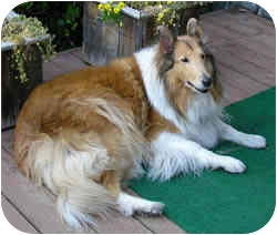 Collie Dog for adoption in Redwood City, California - Butterscotch